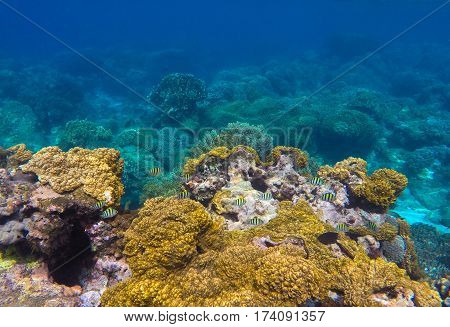 Underwater landscape with round coral and stone in yellow and brown color palette. Turquoise sea water and sea life view. Sea plants and fishes ecosystem of pure nature. Snorkeling photo Philippines