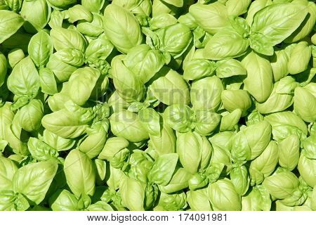 Green fragrant basil leaves for flavour in cooking