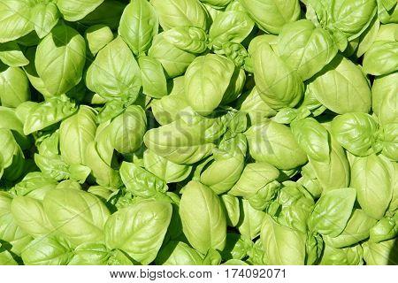 Green Fragrant Basil Leaves