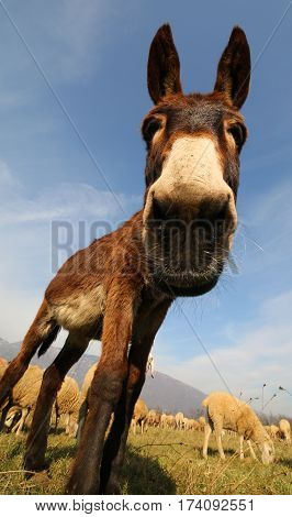 Funny Brown Donkey With Long Ears Photographed With A Fisheye Le