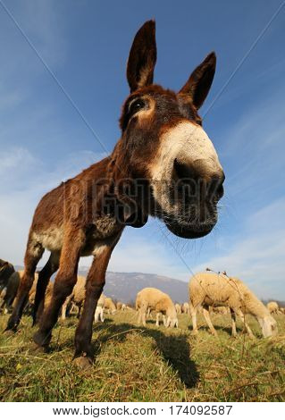 Funny Cute Donkey With Long Ears While Grazing