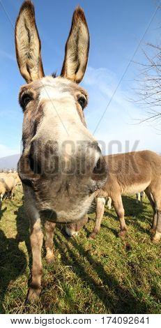Cute Donkey With Long Ears And Graze Along With Other Animals