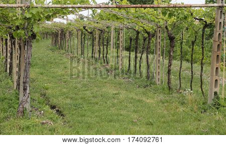 Vineyard Bunches Of Grapes In Growth In The Fine Wine Production