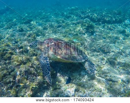 Green turtle swimming in sanctuary lagoon. Sea turtle in sea water. Ecosystem of tropical seashore. Snorkeling with turtle image. Underwater landscape with sea animal. Green sea tortoise in blue water