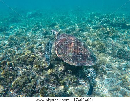 Green sea turtle in turquoise lagoon. Green turtle in sea water. Ecosystem of tropical seashore. Snorkeling with turtle image. Underwater landscape with sea animal. Green sea tortoise in blue water