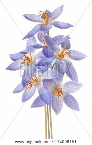 Crocus Flower Isolated