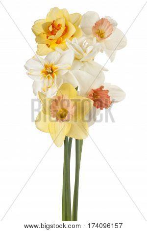 Daffodil Flower Isolated
