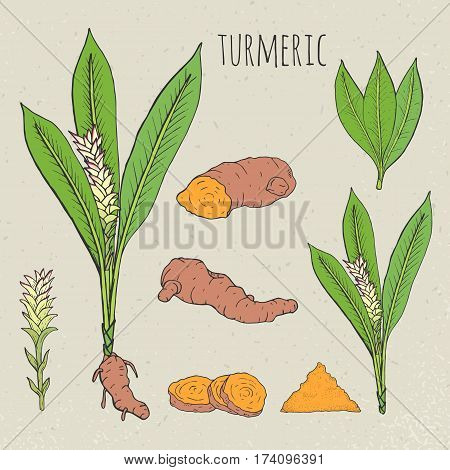 Turmeric medical botanical isolated illustration. Vintage sketch colorful. Plant, root cutaway, leaves, spices hand drawn set.