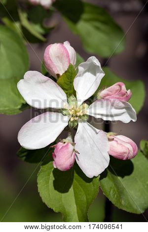 apple tree blooming blossom white and pink flower and buds closeup on green leaves background