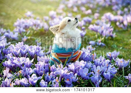 Chihuahua dog with purple crocus flowers beautiful natural background