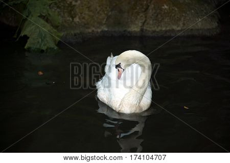 The mute swan (Cygnus olor) is a species of swan and a member of the waterfowl family Anatidae. It is native to much of Eurasia, and (as a rare winter visitor) the far north of Africa. It is an introduced species in North America, Australasia and southern