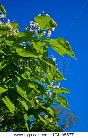 Green leaves and white flowers on a tree at spring against blue sky in Belgrade, Serbia
