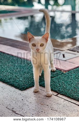 Shorthair cat thin pink stands on the background of blue water of the outdoor swimming pool on a summer day.