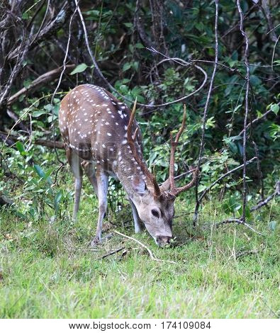 Male Sri Lankan axis deer Axis axis ceylonensis also called Ceylon spotted deer national park Wilpattu Sri Lanka