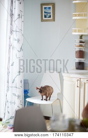 Interior of modern kitchen: Sphynx cat sitting on white table, small painting with evening landscape hanging on wall, containers with dry goods standing on beige worktop