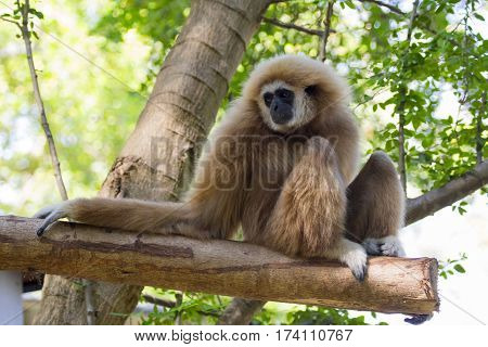 Image of a gibbon sits on timber. Wild Animals.