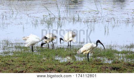 Black-headed Ibis also called Oriental white Ibis Threskiornis melanocephalus lake in national park Wilpattu Sri Lanka