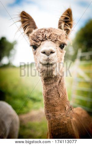 Portrait of a beautiful brown alpaca outside