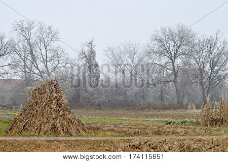 Rural winter frosty landscape: Stack of dry corn stalks in the field