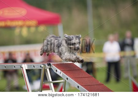 Cute small dog running down bridge in agility competition. He is purebred Pyrenean Sheepdog with grey hair. He is so fast that flying in the air just the way down the bridge.