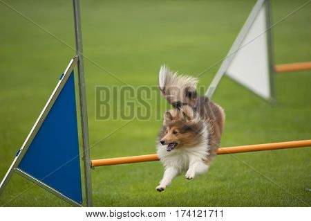 Joyful purebred dog Shetland Sheepdog Sheltie jumping over obstacle on agility competition. He is very happy and enthusiastic.