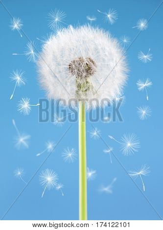 Dandelion flower with flying seeds on blue background. One object isolated. Spring concept.