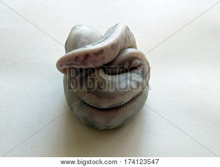 A baby flesh coloured Royal / Ball Python  curled up against a white background