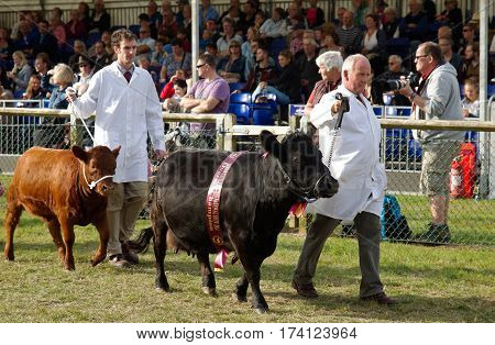 NEWBURY, UK - SEPTEMBER 21: Two award winning Dexter cattle are lead around the arena by their handlers during the Grand Livestock Finale show at the Berks County show on September 21, 2014 in Newbury