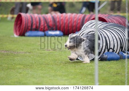 Playful Bearded Collie at the agility competition. He is coming out of the tunnel and running that fast that he has wind in his coat. Smiling happy dog.