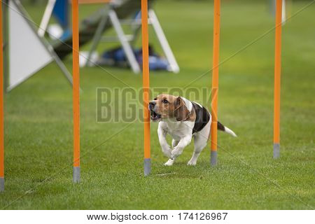 Purebred dog Beagle running on agility competition. He is between yellow poles. He is very excited and barking. Photography shows that all dog breeds are appropriate to learn agility course.