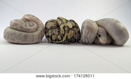 Three Baby Royal / Ball Pythons from the same batch of eggs, two flesh coloured and one yellow and black, curled up on a white background.