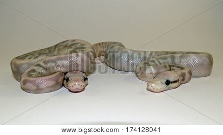 Two baby  Flesh coloured Royal / Ball Pythons from the same batch of eggs against a white background