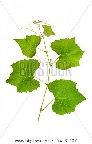 Grape branch with bright juicy leaves isolated on white background.