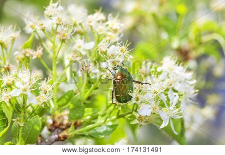 green Japanese beetle eating nectar in cherry flowers