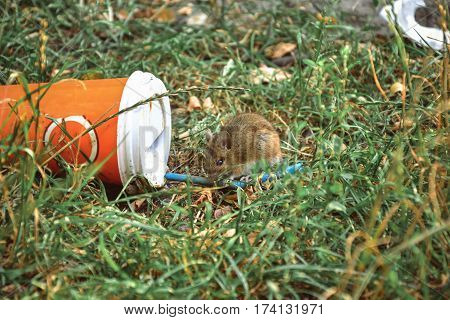 Little rat smelling plastic cup thrown on the grass