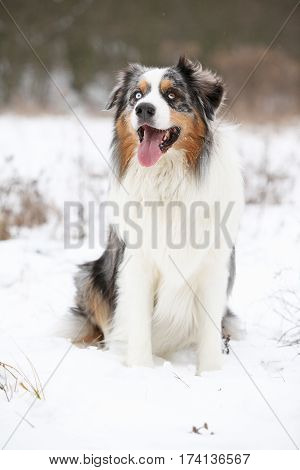 Amazing Australian Shepherd In Winter