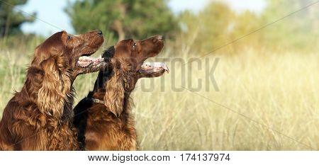 Website banner of funny happy Irish Setter dogs