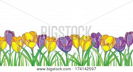 Vector border with outline violet and yellow crocuses or saffron flowers and green grass isolated on white. Ornate floral elements for spring design. Bouquet with crocus in contour style.