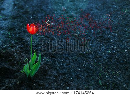 Red alone bright tulip breaks up to small pieces against dark ground. Concept of loneliness, relationship, fragility, destructions, memory, care