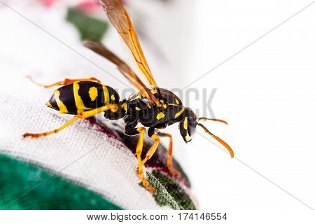 Wasp On Tablecloth
