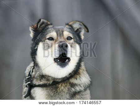 portrait of a dog barks menacingly Baring his teeth