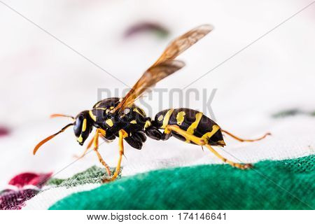Hornet Crawling On Tablecloth