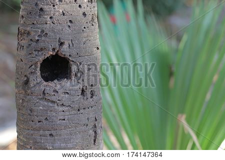 Bird nest hollowed out in a palm tree