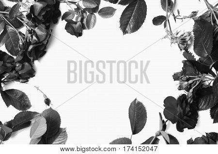 Black and white art photography monochrome frame of beautiful roses with leaves isolated on white background. Place for design and text. Copyspace flat lay top view.