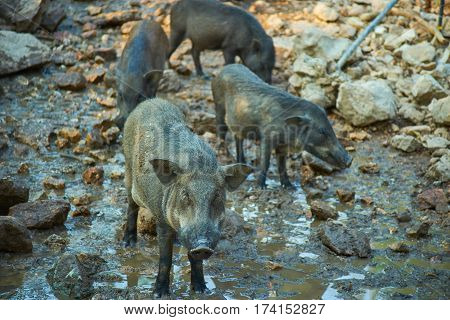 this image is about boar , thailand