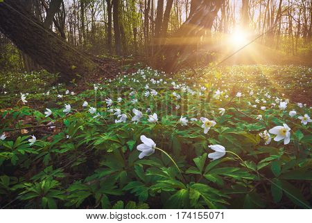 Beautiful white adonis flowers in a light of sunset. Spring forest.