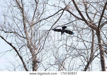 Bird - flying Black Common raven trough trees