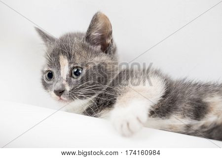 Small calm tricolor kitten is resting on a white background close-up