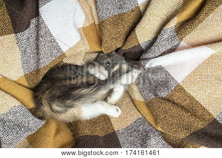 Small cute kitten tricolor is playing with its tail at a cellular plaid close-up