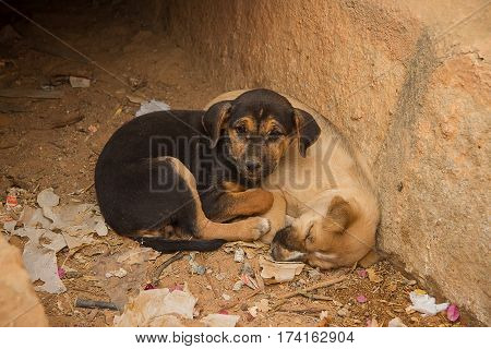 photo of two Indian feral puppies in a dried out drain one asleep and one awake